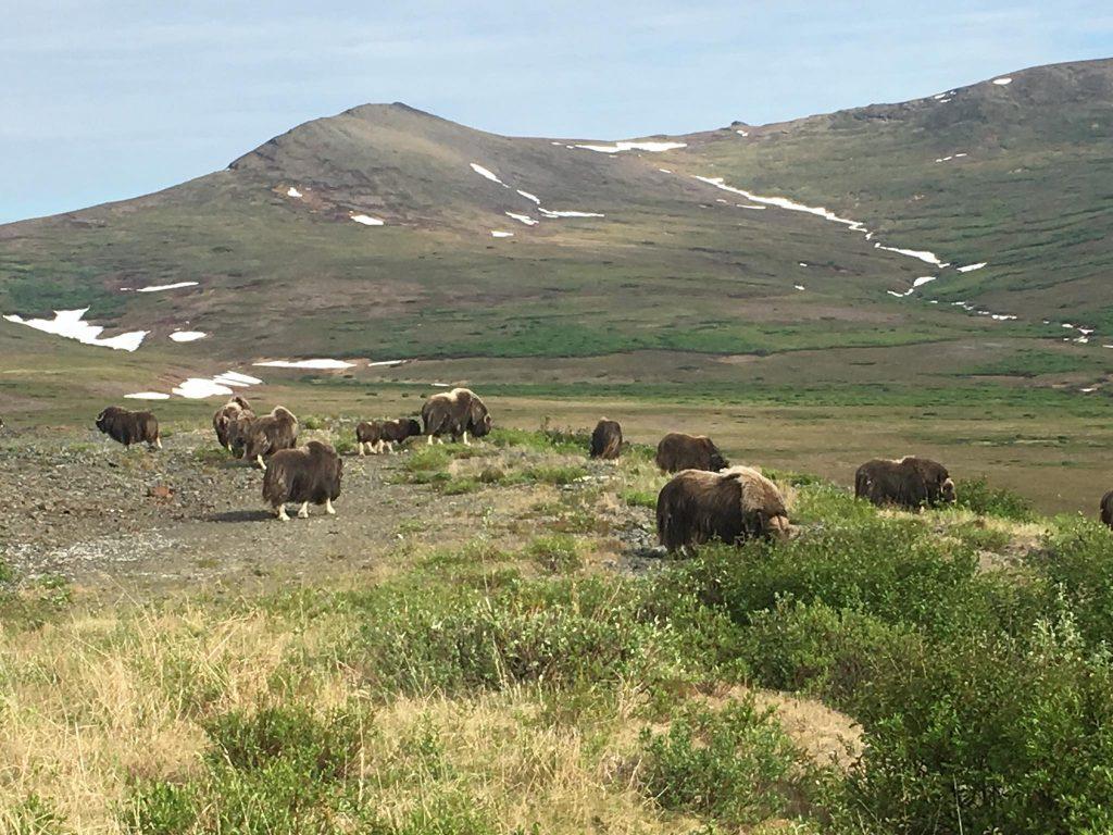 Muskoxen on the Tundra