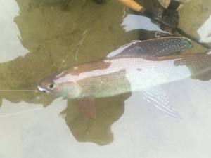 Grayling in the Water