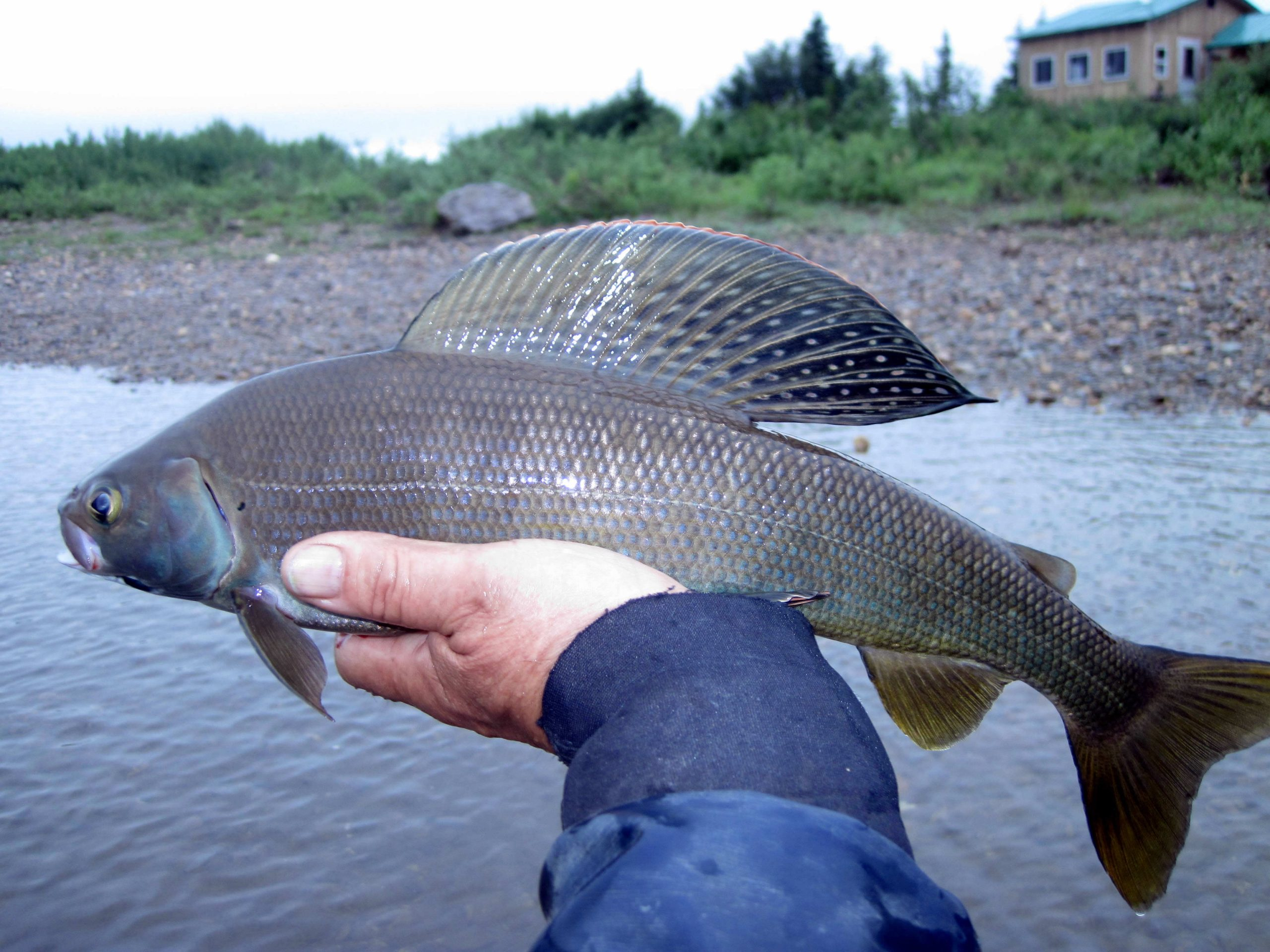 Grayling fish on Alskan River